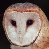 bookofmirrors: (Barn Owl Face)