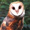 bookofmirrors: (Barn Owl Full)