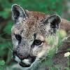 bookofmirrors: (Cougar Hunt)