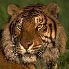 bookofmirrors: (Tiger Gaze)