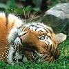 bookofmirrors: (Tiger Sleepy)