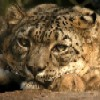 bookofmirrors: (Snow Leopard)