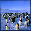 gb_lindsey: (blue penguins)