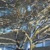 gb_lindsey: (tree)