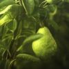 wildpear: (green pear tree (girlboheme))