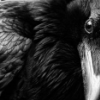 wildpear: (raven up close)