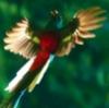 wildpear: (Quetzal)