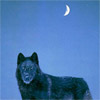 myblackeyedfire: (Wolf in transcendent isolation)