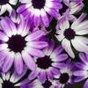iddewes: (Purple flowers)
