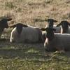 zinkr: (Sheep) (Default)