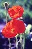 aiwendel: (poppy)