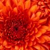 triquetra: (flower, orange)
