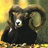 palti: (moufflon)