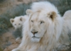 warriorsavant: (White Lion - Jabulani)