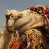 wayfaringwordhack: (camel love)