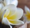 wayfaringwordhack: (frangipani)