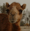 luckylove: (bahrain - camel close up, Camel close up)