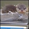 tattooofhername: (grumpy otter)
