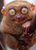 bubbleigh: (interested Tarsier)