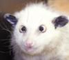 koshmar: (Opossum)