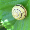 temporus: (snail)