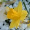 careswen: (Daffodil in snow)