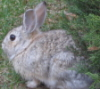 kortirion_among_the_trees: (front yard bunny)