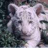 glacial_queen: (zzzanimals--Arcerian Kitten)