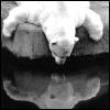 random_yayness: (A - Polar Bear Reflection)