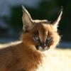 elramsay: caracal kitten (Default)