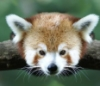 spincat12345: Red Panda (Default)