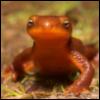 gnewt: rough skinned newt (Default)