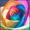 vex_verlain: A close-up of a rose with each petal a different color of the rainbow. (rainbow rose)