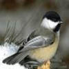 littlesable46: (chickadee)