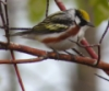littlesable46: (Chestnut-sided warbler)