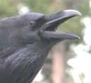 pshaw_raven: (Croaking Raven)