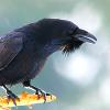 pshaw_raven: (Perched Raven)