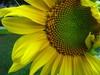 ravenfeather: (sunflower)