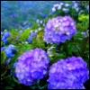 salwaphoenix: (hydrangea jun)