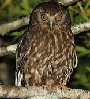 wossname: Iconograph of a morepork (MOREPORK!)