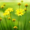 talventakoja: (yellow flowers)