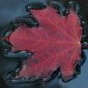 cck_brit: (fall leaf)