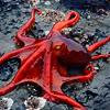 sinicallytwisted: Red Octopus (ink, inktober, inking)