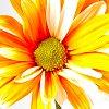 ermina_1603: (orange daisy)