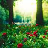 star_swan: (Roses)