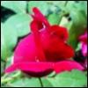 sienf: (rose)