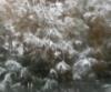 tenderpaw08: (snowypine)
