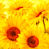 gemspegasus: (Sunflowers)