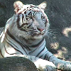 w_a_r_m_i_n_g: (tiger)