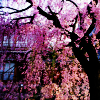 tellemonstar: stock: cheery blossom (cherry blossoms)